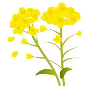 春菜の花 フリーイラスト素材 趣味で作ったイラストを配るサイト