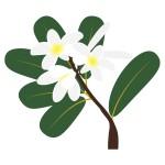 プルメリア(Plumeria)02