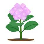 ピンク色のアジサイ