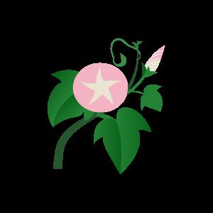 朝顔(ピンク)