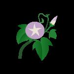 朝顔(紫)